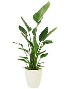 standing plant