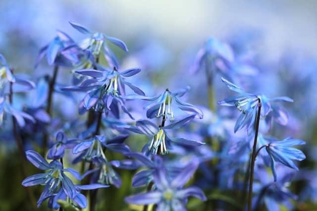 bluebell-flowers-scilla-spring