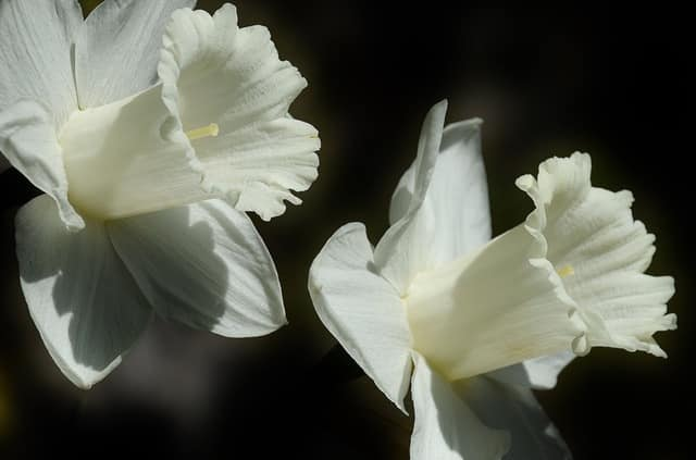 daffodil-flower-easter-lily-spring-53440
